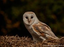 barn-owl-315-copyright-photographers-on-safari-com
