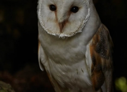 barn-owl-317-copyright-photographers-on-safari-com