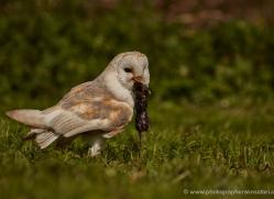 barn-owl-318-copyright-photographers-on-safari-com