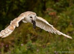 barn-owl-322-copyright-photographers-on-safari-com