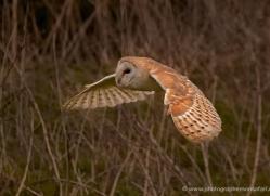 barn-owl-323-copyright-photographers-on-safari-com