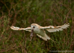 barn-owl-305-copyright-photographers-on-safari-com