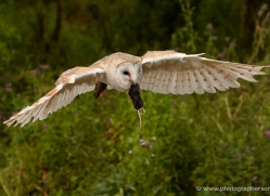 barn-owl-319-copyright-photographers-on-safari-com