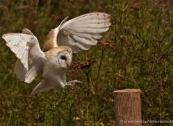 barn-owl-326-copyright-photographers-on-safari-com