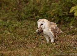barn-owl-332-copyright-photographers-on-safari-com