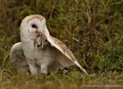 barn-owl-333-copyright-photographers-on-safari-com