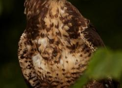 common-buzzard-270-copyright-photographers-on-safari-com