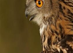 european-eagle-owl-290-copyright-photographers-on-safari-com