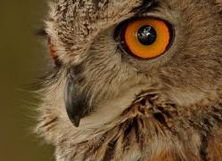 european-eagle-owl-293-copyright-photographers-on-safari-com