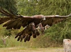 golden-eagle-276-copyright-photographers-on-safari-com