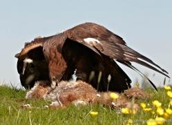 golden-eagle-279-copyright-photographers-on-safari-com