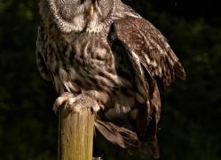 great-grey-owl-264-copyright-photographers-on-safari-com