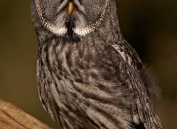 great-grey-owl-265-copyright-photographers-on-safari-com