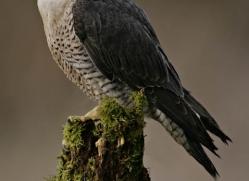 peregrine-falcon284-copyright-photographers-on-safari-com