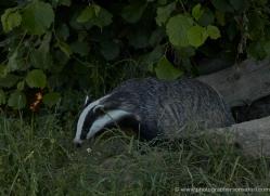 badger-british-wildlife-2649-copyright-photographers-on-safari-com