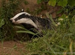 badger-british-wildlife-2652-copyright-photographers-on-safari-com