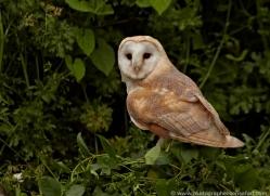 barn-owl-british-wildlife-2686-copyright-photographers-on-safari-com