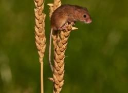 harvest-mouse-british-wildlife-2588-copyright-photographers-on-safari-com