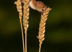 harvest-mouse-british-wildlife-2590-copyright-photographers-on-safari-com