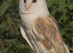 barn-owl-british-wildlife-2687-copyright-photographers-on-safari-com