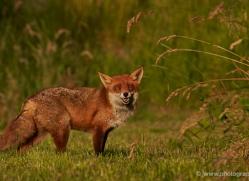 red-fox-british-wildlife-2730-copyright-photographers-on-safari-com