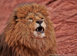 barbary-lion-moab-2044-copyright-photographers-on-safari-com