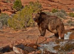 brown-bear-moab-2067-copyright-photographers-on-safari-com