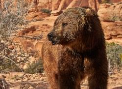 brown-bear-moab-2068-copyright-photographers-on-safari-com