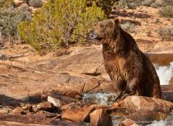 brown-bear-moab-2070-copyright-photographers-on-safari-com