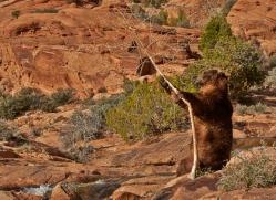 brown-bear-moab-2073-copyright-photographers-on-safari-com