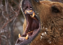 brown-bear-moab-2084-copyright-photographers-on-safari-com
