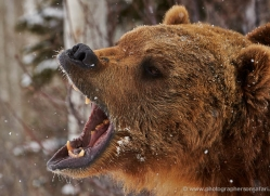 brown-bear-moab-2085-copyright-photographers-on-safari-com