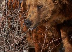 brown-bear-moab-2089-copyright-photographers-on-safari-com