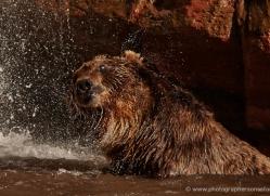 brown-bear-moab-2099-copyright-photographers-on-safari-com