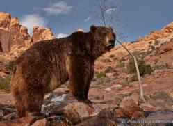 brown-bear-moab-2104-copyright-photographers-on-safari-com