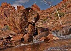brown-bear-moab-2105-copyright-photographers-on-safari-com