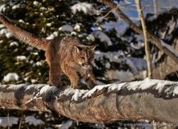 mountain-lion-puma-moab-1959-copyright-photographers-on-safari-com
