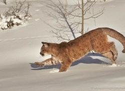 mountain-lion-puma-moab-1961-copyright-photographers-on-safari-com