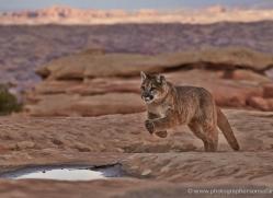 mountain-lion-puma-moab-1987-copyright-photographers-on-safari-com