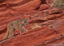 mountain-lion-puma-moab-2000-copyright-photographers-on-safari-com