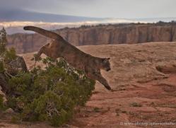 mountain-lion-puma-moab-2003-copyright-photographers-on-safari-com