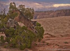 mountain-lion-puma-moab-2005-copyright-photographers-on-safari-com