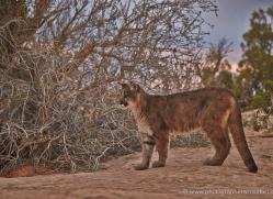 mountain-lion-puma-moab-2007-copyright-photographers-on-safari-com