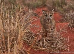 mountain-lion-puma-moab-2013-copyright-photographers-on-safari-com