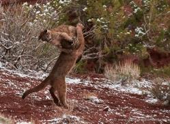 mountain-lion-puma-moab-2023-copyright-photographers-on-safari-com