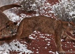 mountain-lion-puma-moab-2026-copyright-photographers-on-safari-com