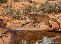 mountain-lion-puma-moab-2030-copyright-photographers-on-safari-com