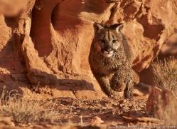 mountain-lion-puma-moab-2035-copyright-photographers-on-safari-com