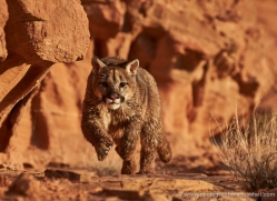mountain-lion-puma-moab-2039-copyright-photographers-on-safari-com