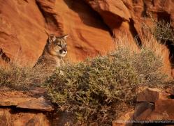 mountain-lion-puma-moab-2040-copyright-photographers-on-safari-com